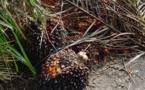El cultivo de la palma africana inutiliza la tierra