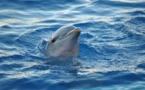 Los delfines se reconocen en el espejo antes que los humanos