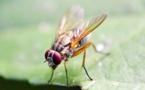 Avatares de moscas ayudan contra el cáncer