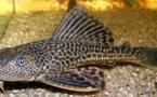 Los peces bagre se convierten en caníbales en los ríos alemanes