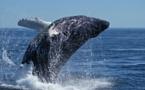 Objetivo: recuperar la ballena azul antártica