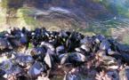 Evalúan la contaminación del litoral norte y noroeste peninsular analizando los mejillones