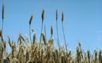 La inmunoterapia oral muestra resultados prometedores contra la alergia al trigo