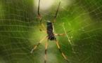 Crean la fibra de seda de araña más resistente del mundo
