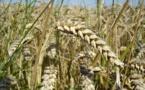 El cambio climático adelanta el crecimiento primaveral de los cultivos en España