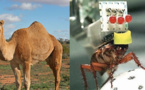 Domesticación extrema: Del dromedario al ratón tartamudo